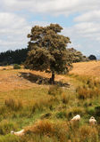 Heat of Summer. Heat of a hot summers day and these sheep have some shade Stock Image