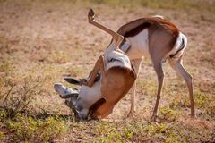 Heated fight bewtween rams. Heated fight between two adult Springbok rams during a battle for dominance royalty free stock images