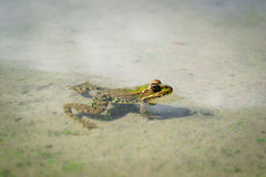 Heated frog. In the last warm days of autumn, the frog decided to warm up on the shore Royalty Free Stock Photo