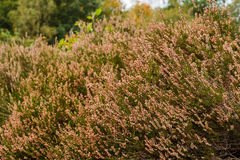 Heath in autumn sun after blooming Stock Photography