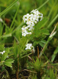 Heath Bedstraw Stock Images