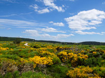 Heath with blooming brooms at Mont Lozere, France Stock Photography