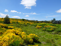 Heath with blooming flowers at Mont Lozere, France Royalty Free Stock Photos