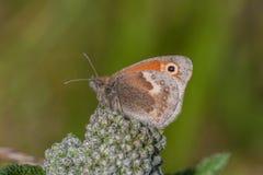 Heath Butterfly royaltyfri fotografi