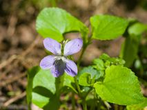 Heath dog-violet, Viola canina, flower with defocused background, macro, selective focus, shallow DOF Stock Photos
