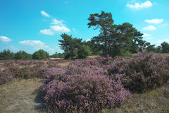Heath and forest in Holland Stock Photography