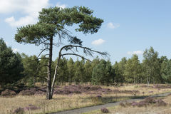 Heath and forest in Holland Royalty Free Stock Photography