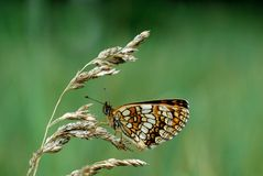 Heath fritillary Royalty Free Stock Image