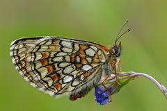 Heath Fritillary Stock Photography