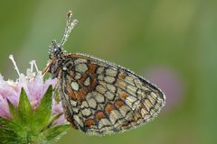 Heath Fritillary Royalty Free Stock Photography