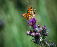 Heath Fritillary Immagini Stock