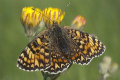 Heath Fritillary, athalia sull'erba, farfalla di Melitaea fotografie stock libere da diritti