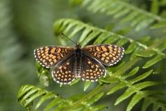 Heath fritillary butterfly, Melitaea athalia Stock Photography