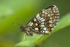 Heath fritillary butterfly, Melitaea athalia Royalty Free Stock Photos