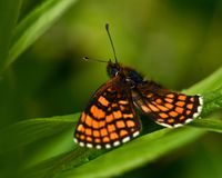Heath fritillary Melitaea athalia butterfly, royalty free stock photography