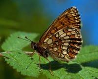 Heath fritillary Melitaea athalia butterfly, royalty free stock photos