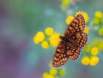 Heath Fritillary Butterfly på gula blommor arkivbild