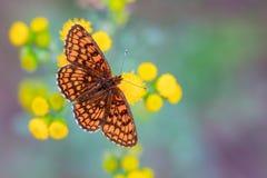 Heath Fritillary Butterfly på guling blommar med gräsplan och Purp arkivbild