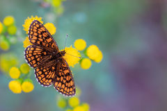 Heath Fritillary Butterfly på guling blommar med gräsplan och Purp royaltyfri fotografi