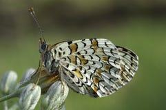 Heath Fritillary, farfalla di athalia di Melitaea fotografia stock