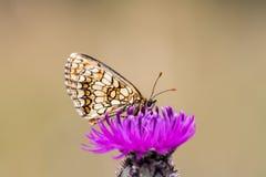 Heath fritillary Melitaea athalia on a blooming thistle Royalty Free Stock Image