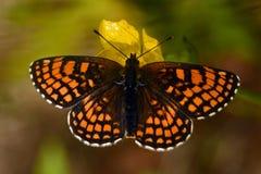 Heath fritillary Melitaea athalia butterfly, royalty free stock image