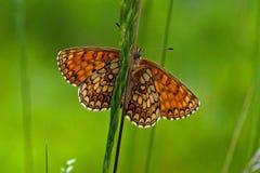 Heath fritillary Melitaea athalia butterfly, stock photos