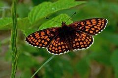 Heath fritillary Melitaea athalia butterfly, stock photography