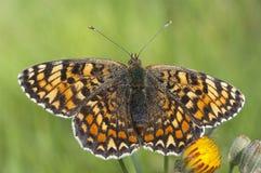 Heath Fritillary, Melitaea-athalia die, vlinder rusten royalty-vrije stock afbeelding