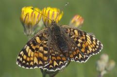 Heath Fritillary Melitaea athalia på gräset, fjäril royaltyfria foton