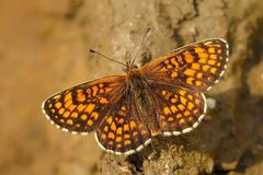 The heath fritillary (Melitaea athalia) stock photography