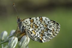 Heath Fritillary Melitaea athaliafjäril arkivfoto