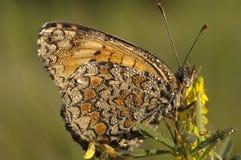 Heath Fritillary Melitaea athaliafjäril royaltyfri fotografi
