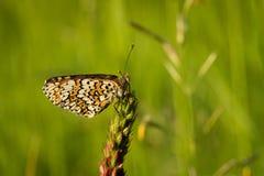 Heath Fritillary sammanträde på det gröna gräset royaltyfria foton