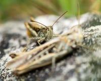 Heath grasshoppers (Chorthippus vagans) Stock Images