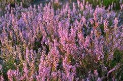 Heath in Klominskie heathland in Drawskie Lakeland (Poland) Royalty Free Stock Images