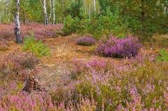 Heath landscape with flowering Heather Stock Photos