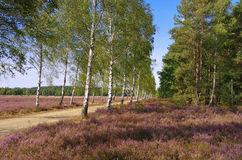 Heath landscape with flowering Heather and path. Heath landscape with flowering Heather, Calluna vulgaris and hiking path stock photos