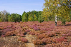Heath landscape with flowering Heather and path. Heath landscape with flowering Heather, Calluna vulgaris and hiking path royalty free stock image