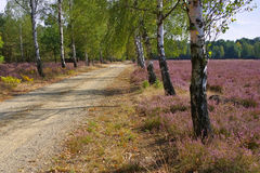 Heath landscape with flowering Heather and path. Heath landscape with flowering Heather, Calluna vulgaris and hiking path royalty free stock images