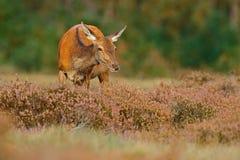 Heath Moorland, autumn animal behaviour. Hind doe of red deer, rutting season, Hoge Veluwe,  Netherlands. Deer stag, bellow  adult Royalty Free Stock Photography