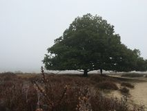 Heath and oak tree in fog Royalty Free Stock Photo