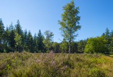 Heath in a pine forest. Blooming heath in a pine forest in summer Stock Photo