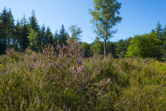 Heath in a pine forest. Blooming heath in a pine forest in summer Royalty Free Stock Photos
