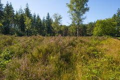 Heath in a pine forest. Blooming heath in a pine forest in summer Royalty Free Stock Image