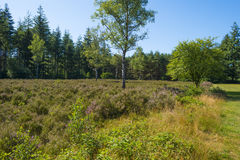 Heath in a pine forest. Blooming heath in a pine forest in summer Royalty Free Stock Photography