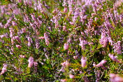 Heath. A purple-flowered Eurasian heath that grows abundantly on moorland and heathland Royalty Free Stock Photos