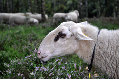 Heath sheep doing his job Royalty Free Stock Photos