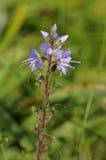 Heath Speedwell Flowers royaltyfria bilder