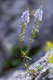 Heath Speedwell (officinalis del Veronica) en la roca Foto de archivo